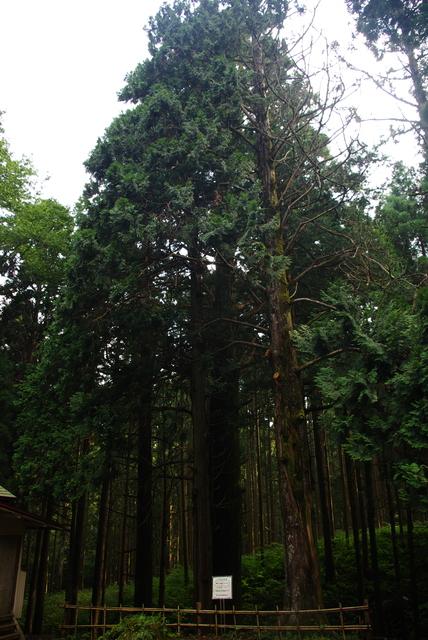 雫石神社の杉.jpg